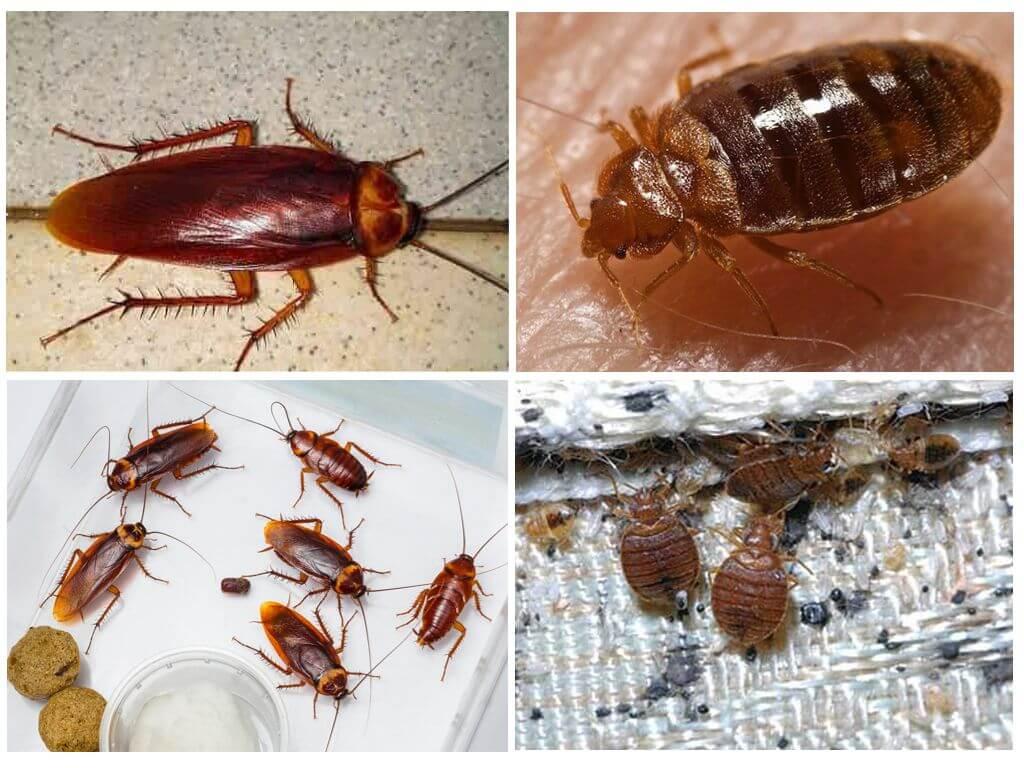 Едят ли тараканы клопов