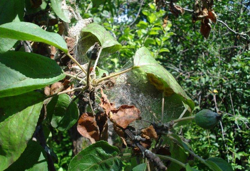 Паутинный клещ на деревьях - как бороться народными методами и химией