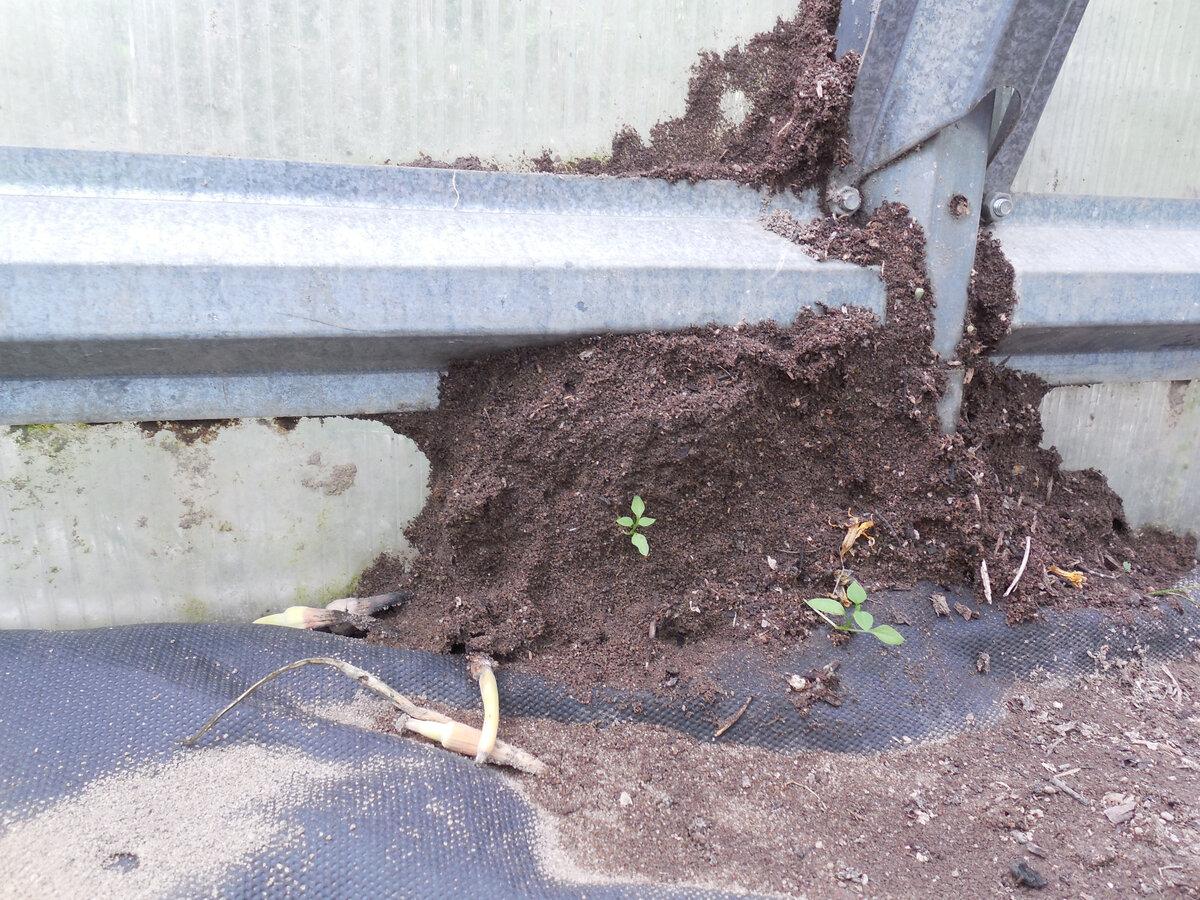 Как избавиться от садовых муравьев - проверенные способы и средства