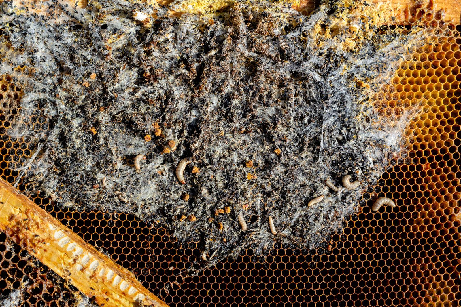 Восковая моль (пчелиная моль), описание, способы борьбы