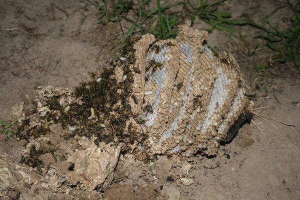 Как избавиться от земляных ос и их гнёзд в земле