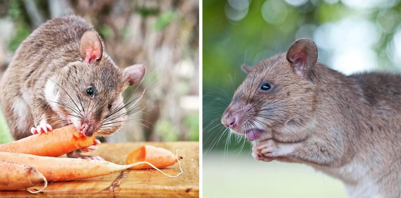 Гамбийская хомяковая крыса, или сумчатая крыса: описание и содержание в домашних условиях