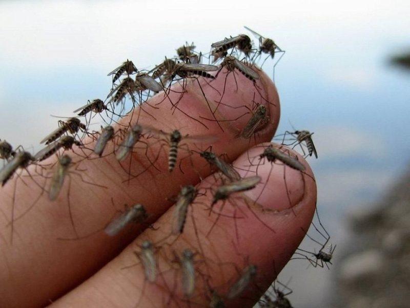 Необходимость человеческой крови для комариной популяции