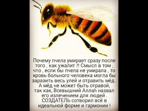 О жале пчелы: как выглядит после укуса, где находится, как удалить пчелиное жало