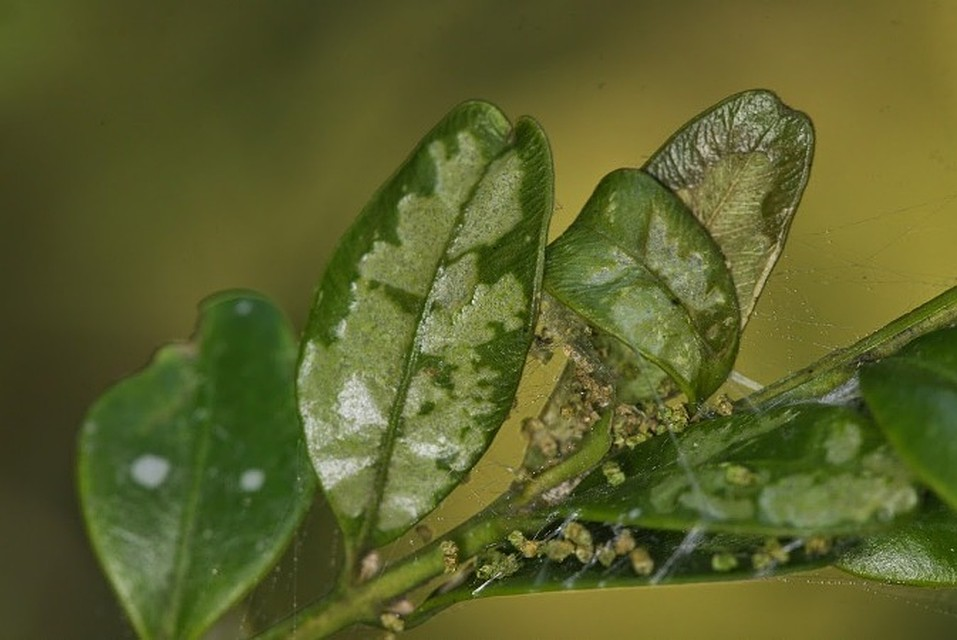 Тисо-самшитовая роща (самшит съели, тис остался)