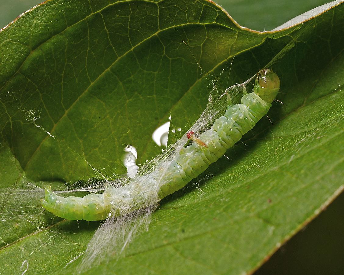 Вредители сада: листовертка. Распространенные виды и методы борьбы с ними