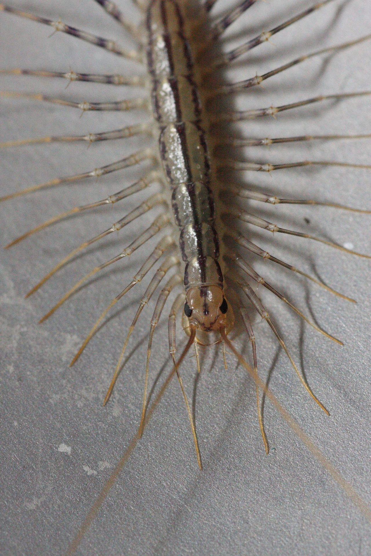 Гигантская сколопендра внешний вид и укус противного насекомого