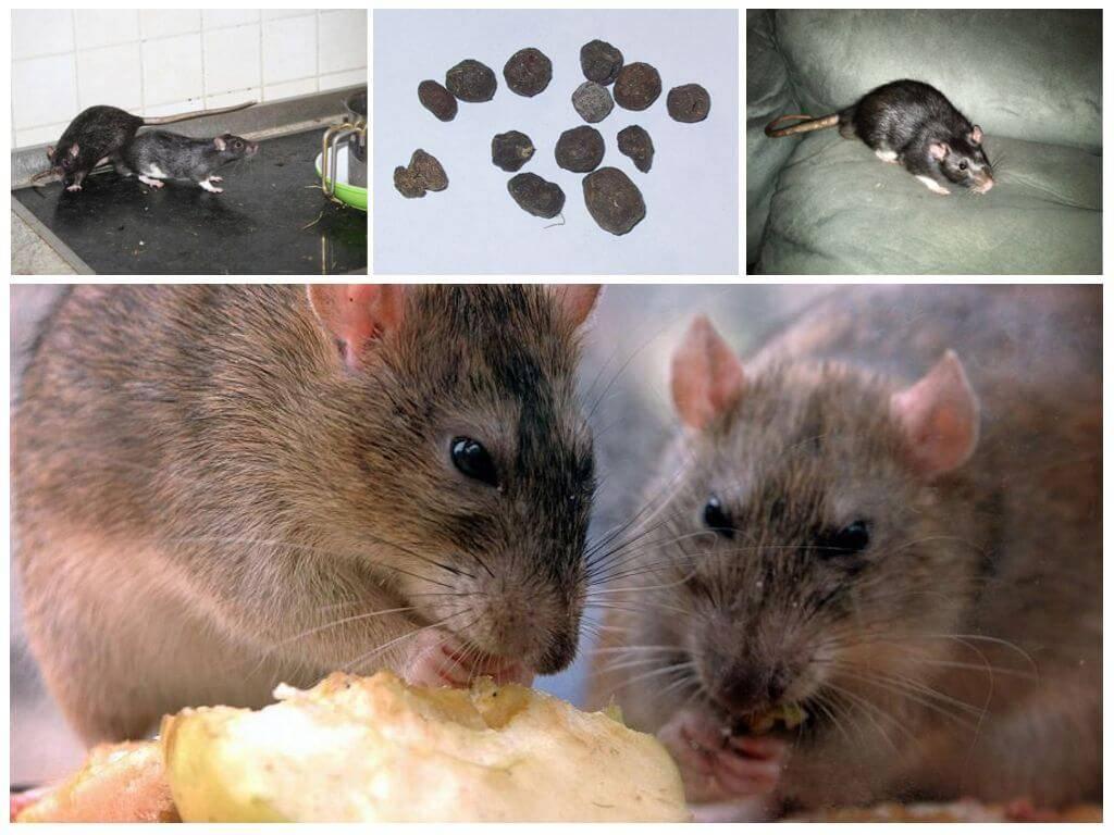 Как и чем вывести крыс из частного дома за 1 день?