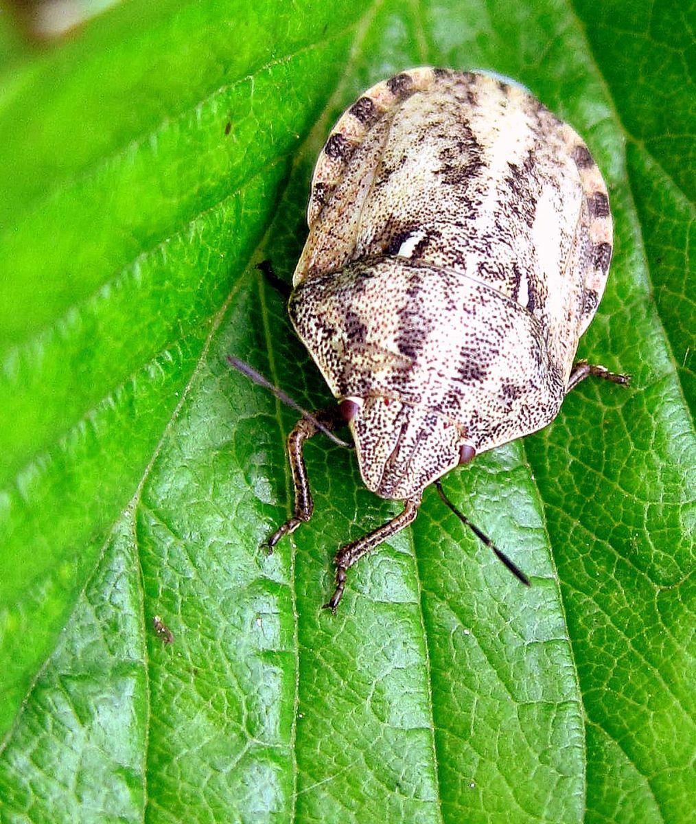 Клоп вредная черепашка: описание, фото и меры борьбы с насекомым