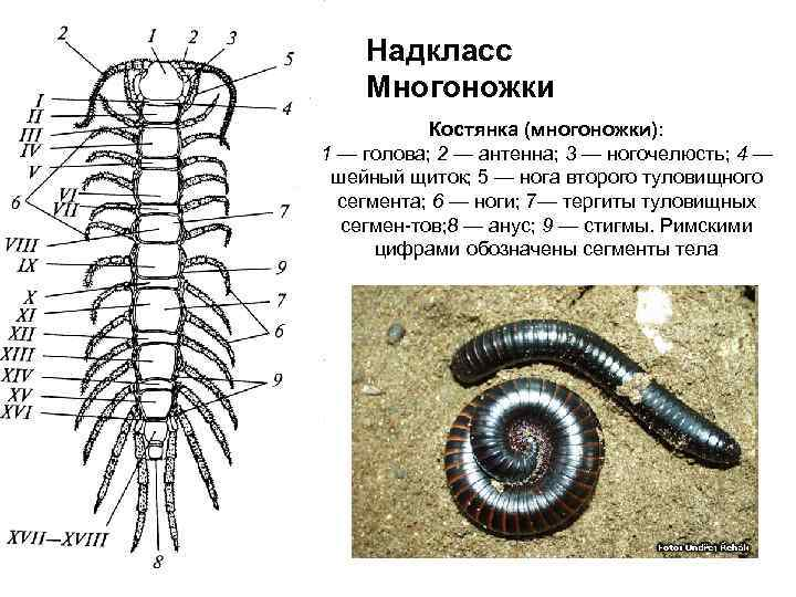 Сколопендра – описание и фото, опасность для человека