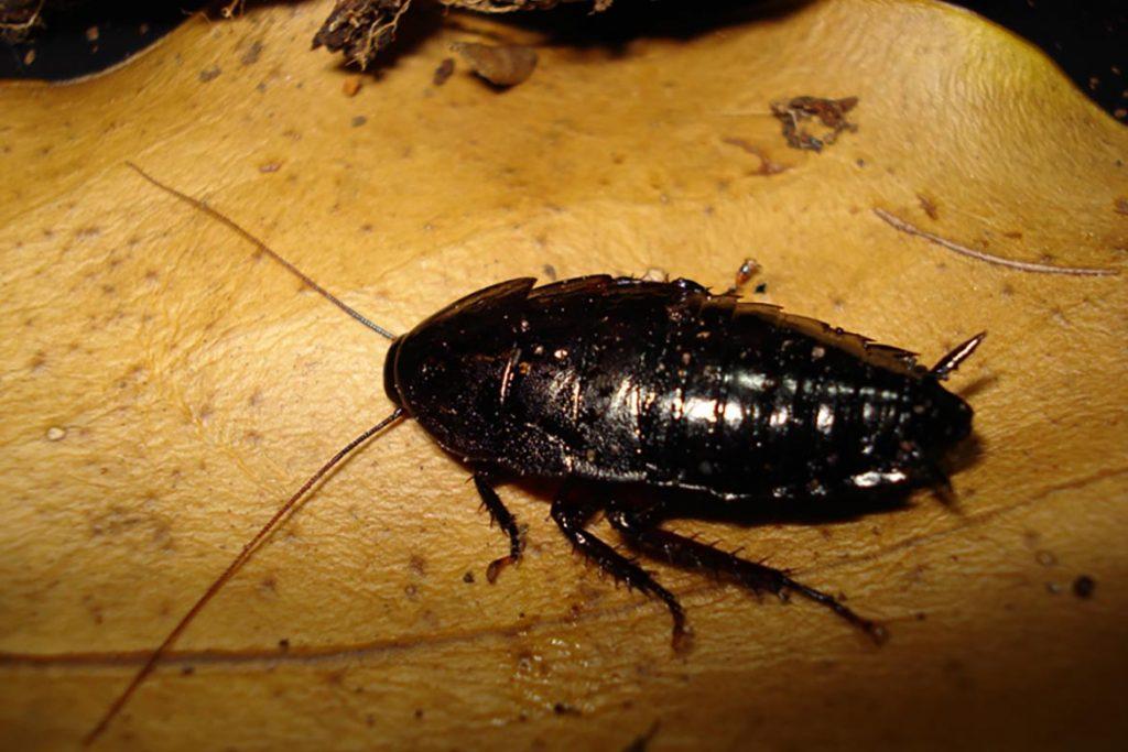 Рыжие тараканы: продолжительность жизни в домашних условиях