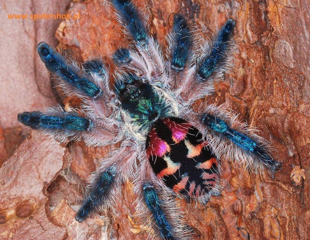 Виды пауков птицеедов: как выглядят и сколько живут?