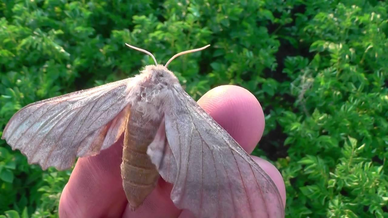 Бабочки – развитие, маскировка, строение, фото и видео