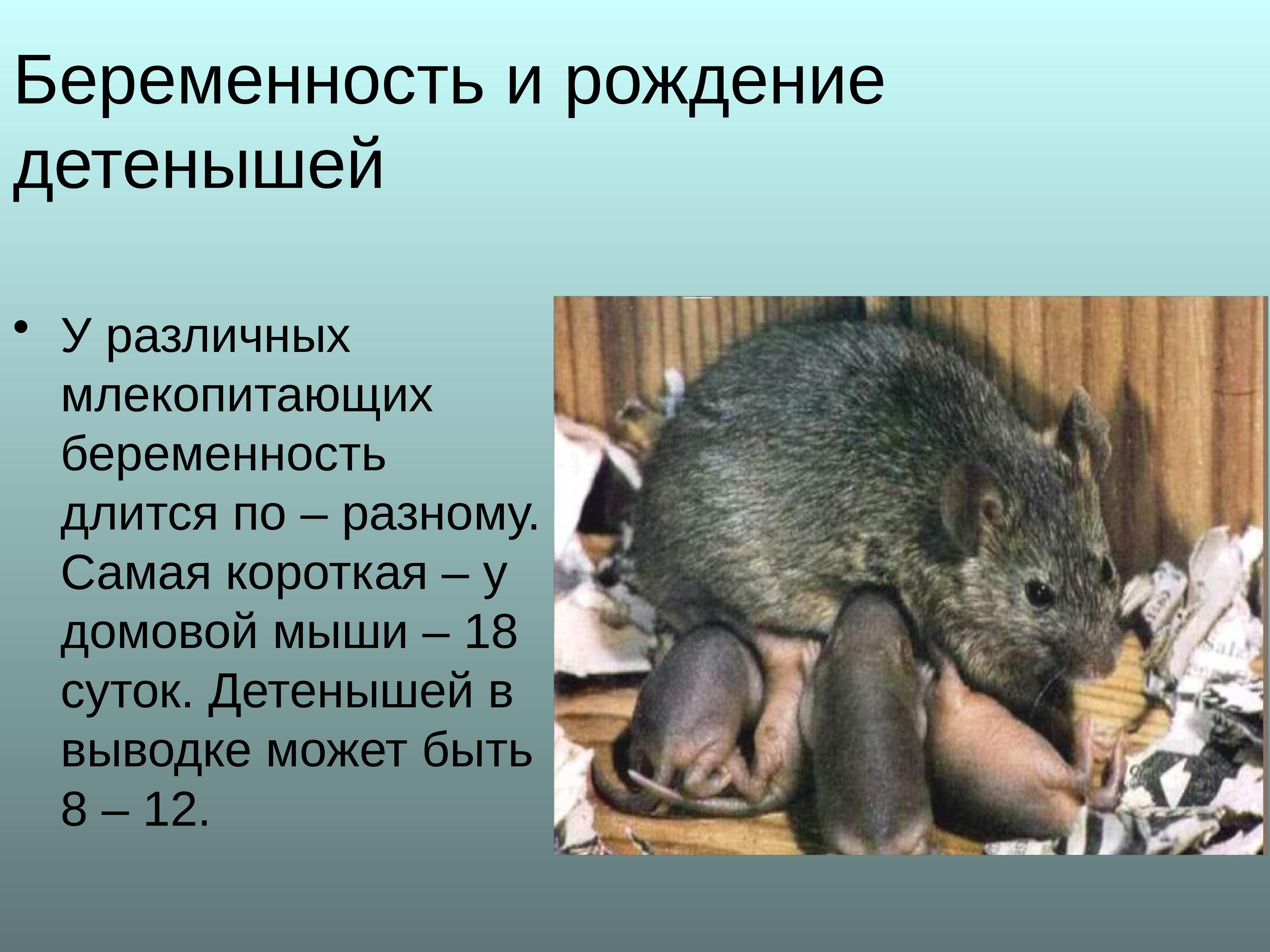 Мышь домашняя: 125 фото отличительных особенностей диких и декоративных мышей