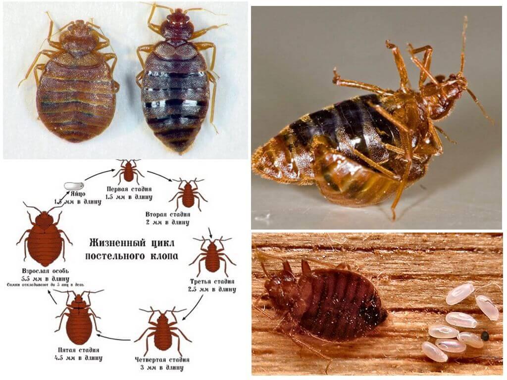 Как выглядят клопы домашние: фото взрослые особи,  личинки постельного клопа