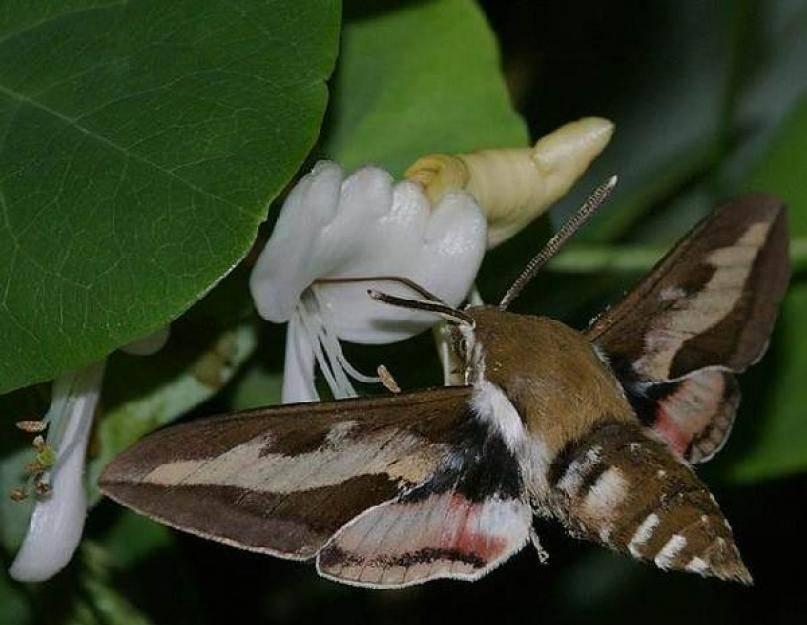 Винный бражник – образ жизни редких бабочек и гусениц