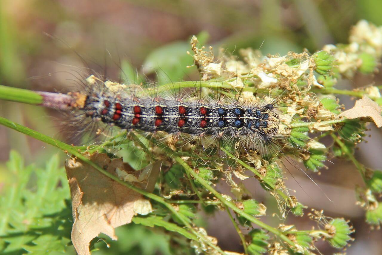 Кольчатый шелкопряд: как коричневая бабочка вредит саду и способы борьбы с ней