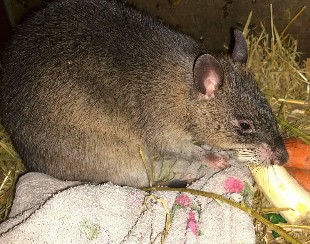 Wikizero - гамбийская хомяковая крыса