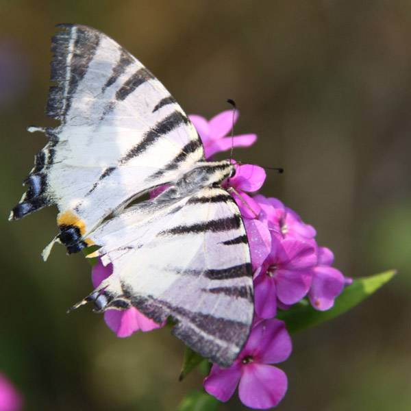 Бабочка парусник, описание, характеристика видов