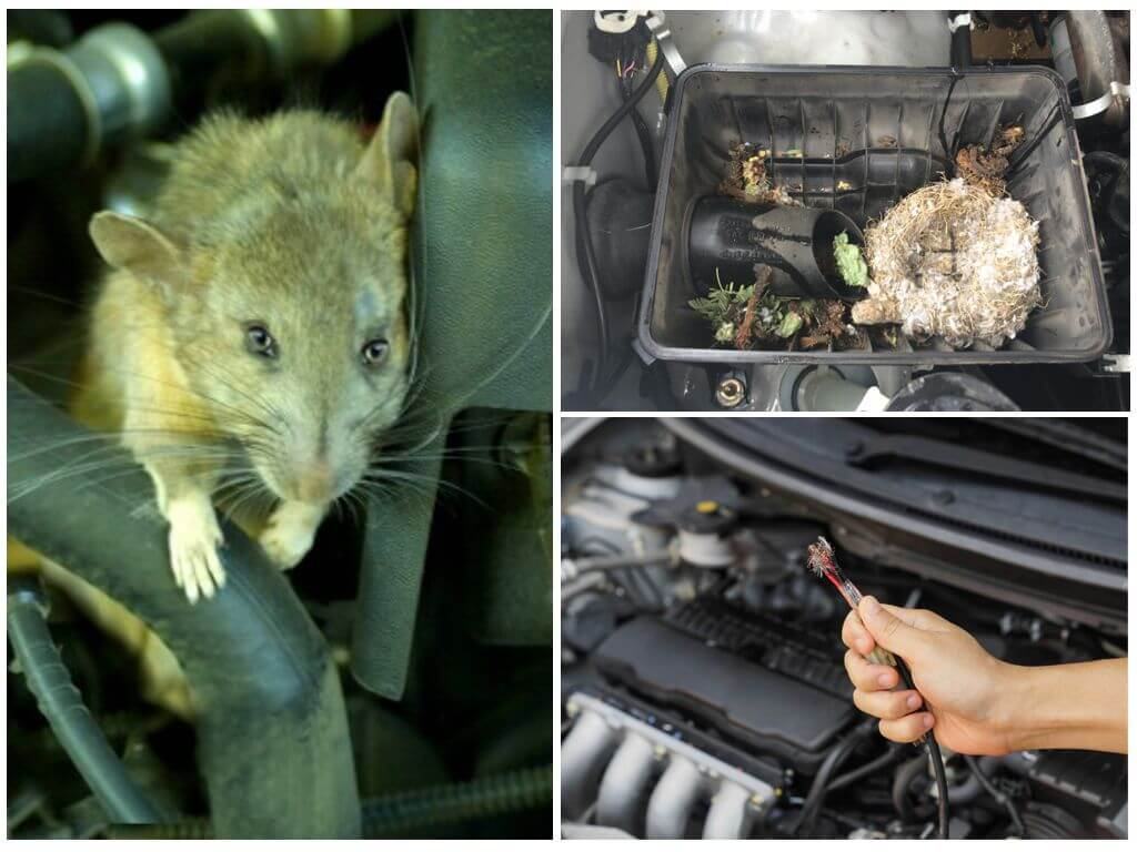 Мыши в автомобиле: как вывести вредителей из машины