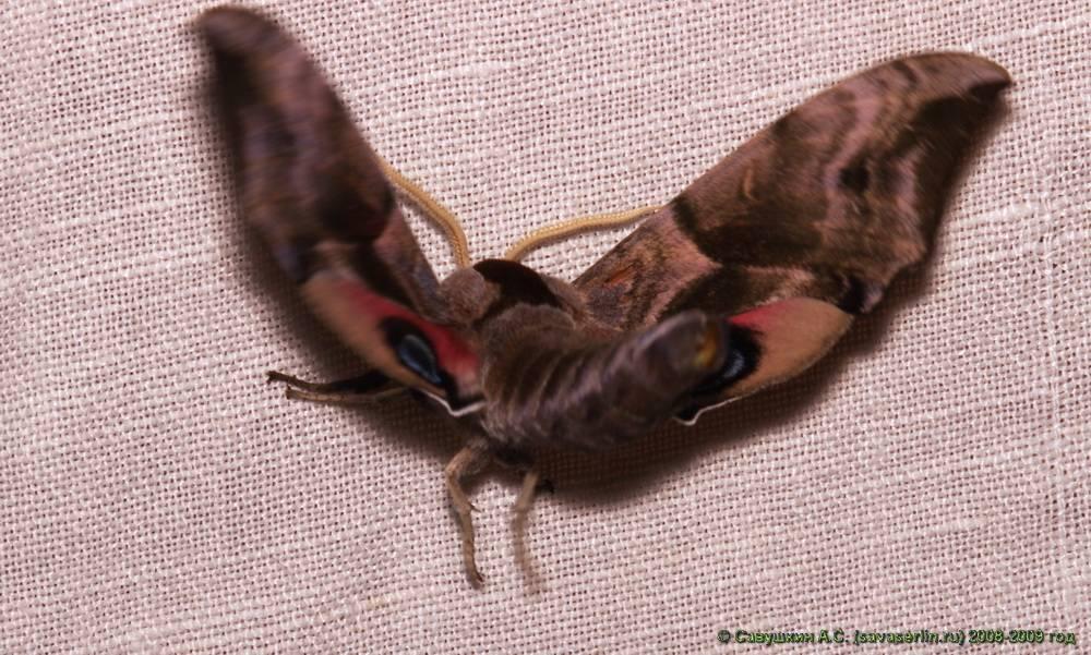 """Вставьте в текст """"бабочка мертвая голова"""" пропущенные термины из предложенного перечня, используя для этого цифровые обозначения.бабочка мертвая голова относится к отряду … (а) .ее ротовой аппарат, как и у всех бабочек … (б) типа бражник мертвая голов"""