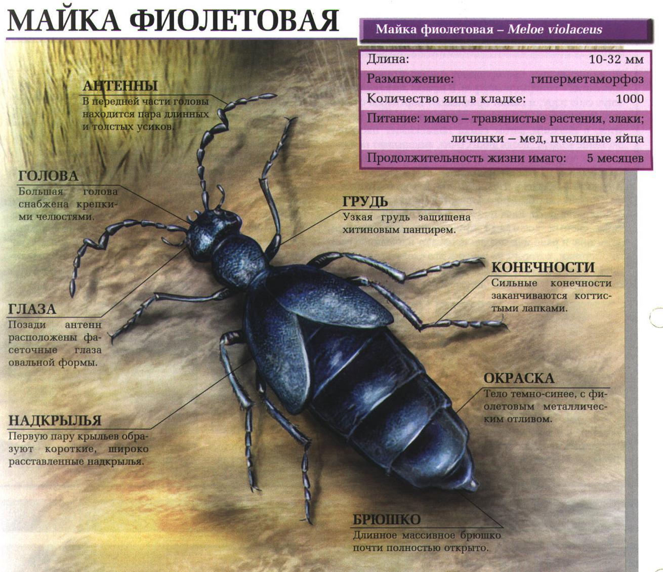 Восковик перевязанный: образ жизни и развитие летнего жука