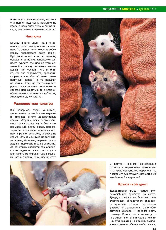 Дикие крысы - фото и описание