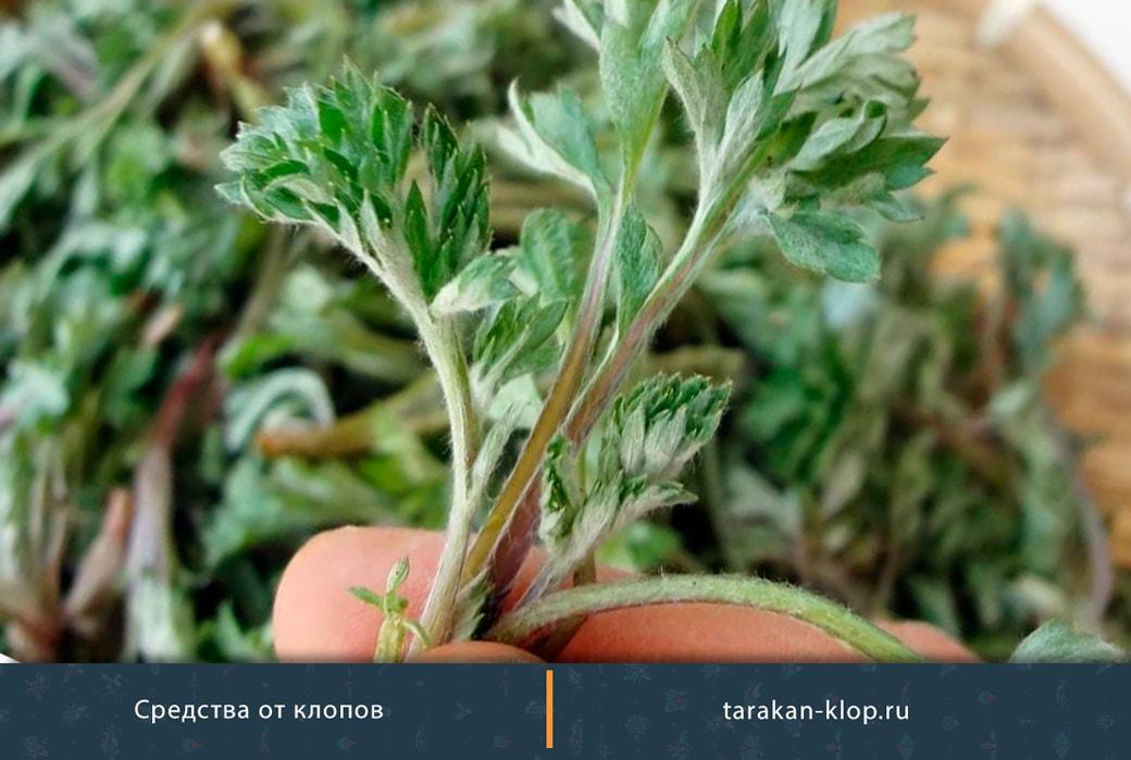 Трава от клопов в квартире – какая помогает