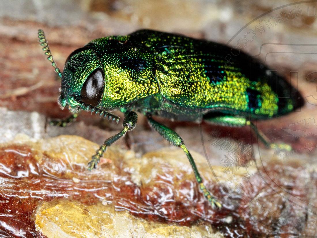Сосновый пилильщик– фото, виды и интересные факты