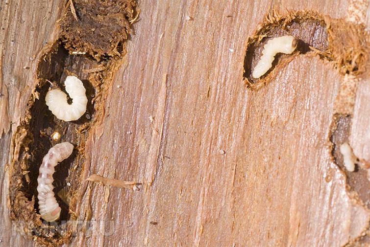 Древоточец в мск, в квартире с обилием дерева - все о борьбе с насекомыми