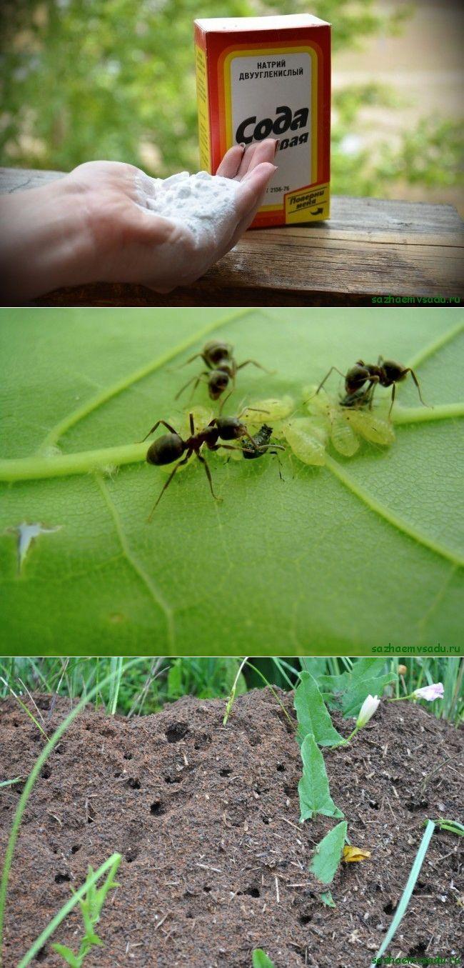 Как избавиться от муравьев на дачном участке: народные средства, химия