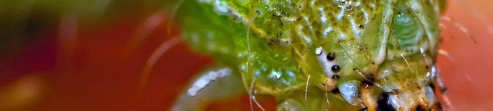 Вредители томатов и эффективные методы борьбы с ними