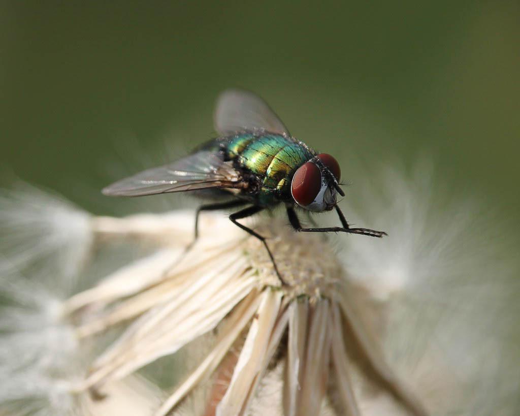 Ученые выяснили, почему мухи трут лапки - 1 февраля 2016 – земля - хроники жизни
