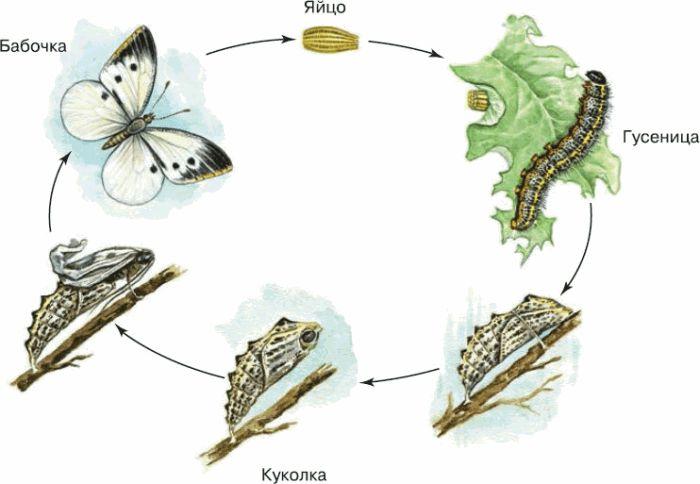 Жизненный цикл бабочек. стадии развития бабочек