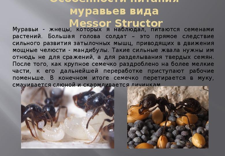 Муравьи жнецы - уход, питание, среда обитания и срок жизни
