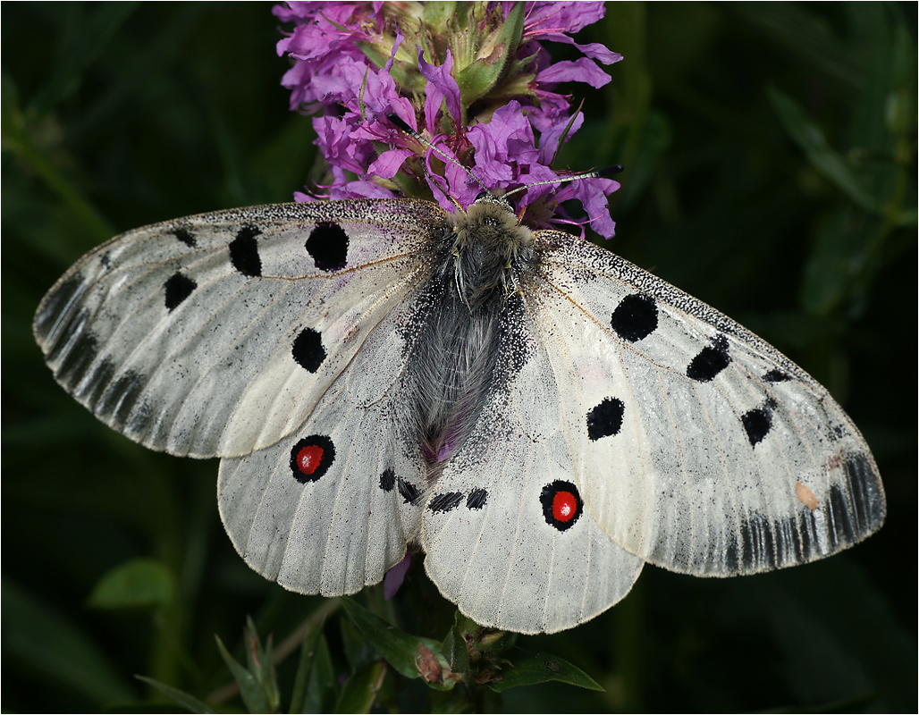 Бабочка аполлон — описание, среда обитания, виды