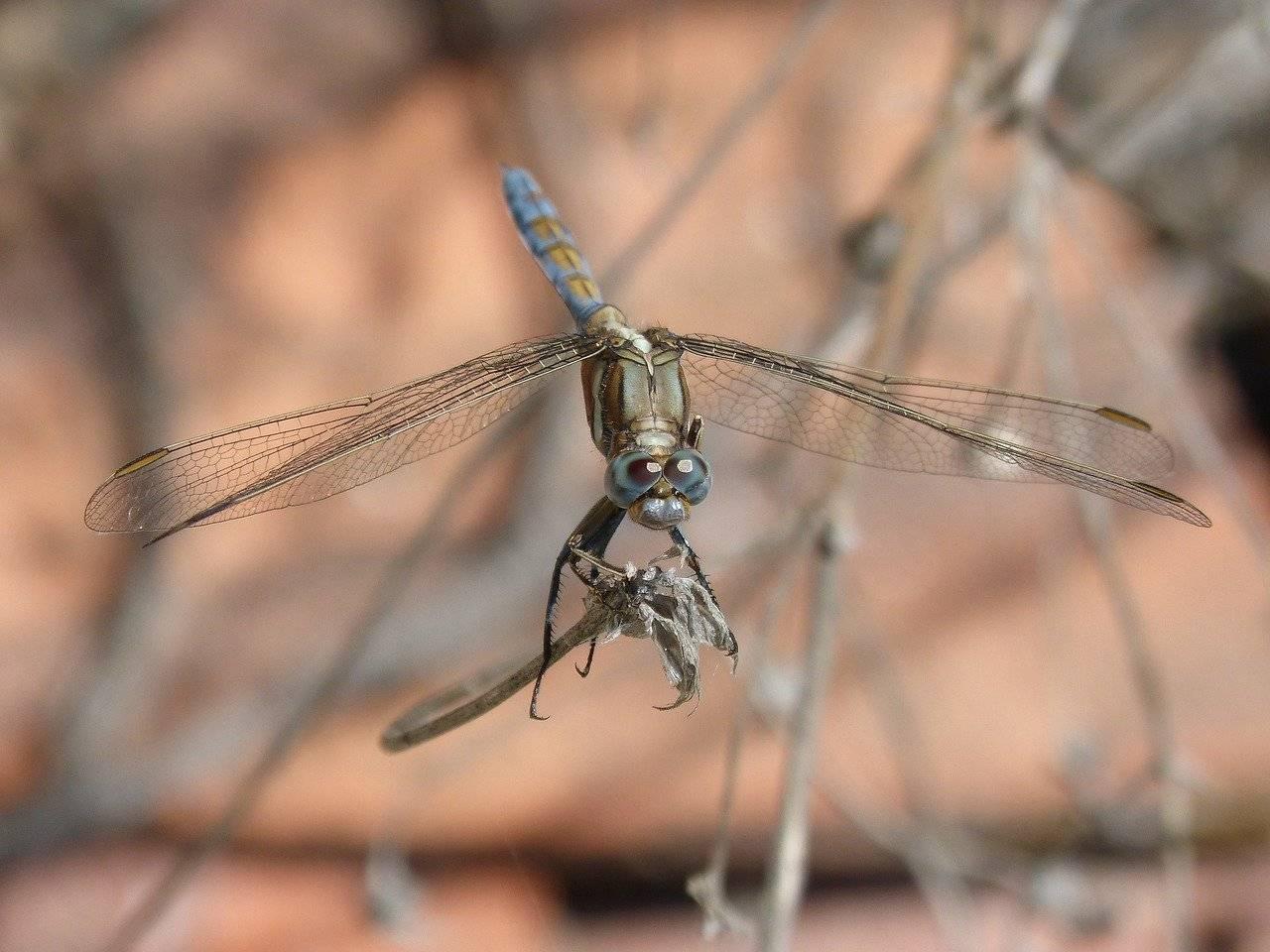 Внешний вид стрекозы и особенности ее размножения