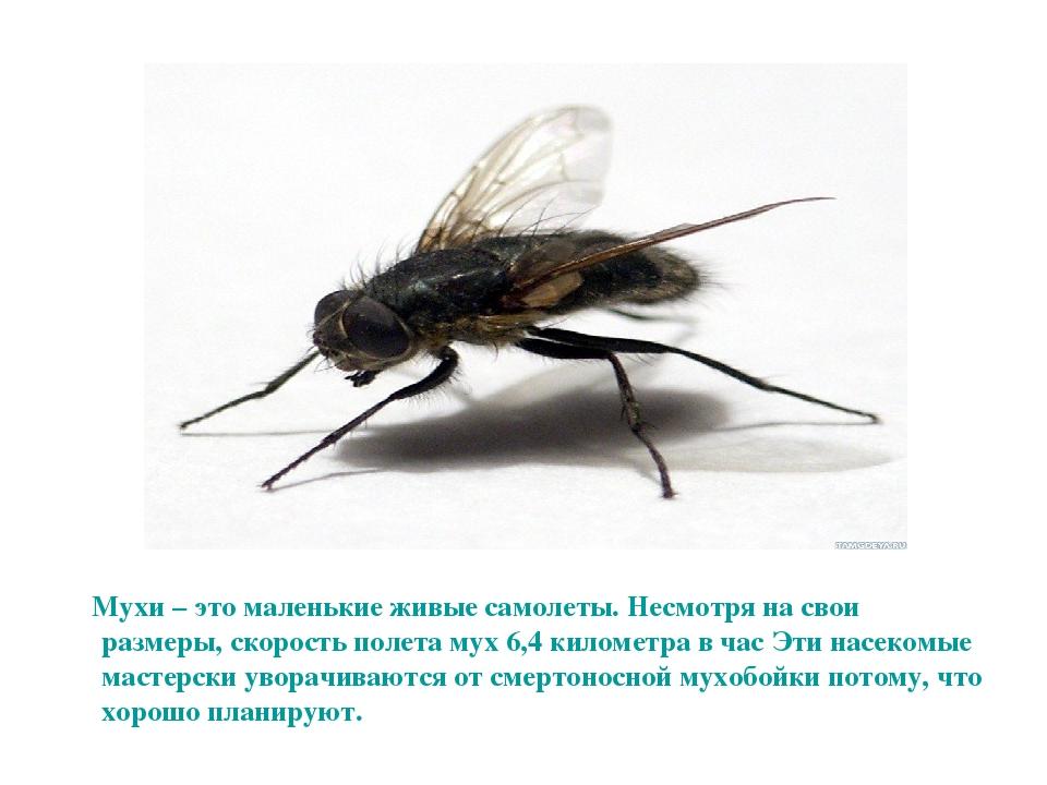 С какой скоростью летают мухи? интересные факты про полёт мух