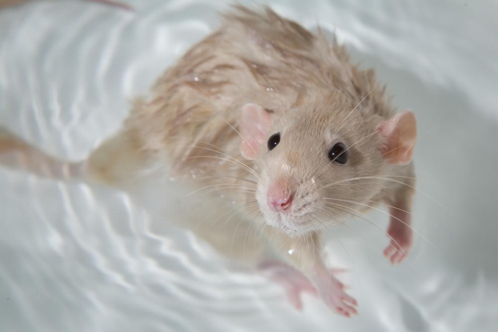 Жестокие эксперименты показали, что большинство млекопитающих умеет плавать - hi-news.ru