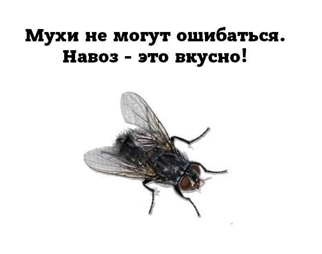 Почему мухи пристают к человеку. почему мухи садятся на людей? что за зверь такой