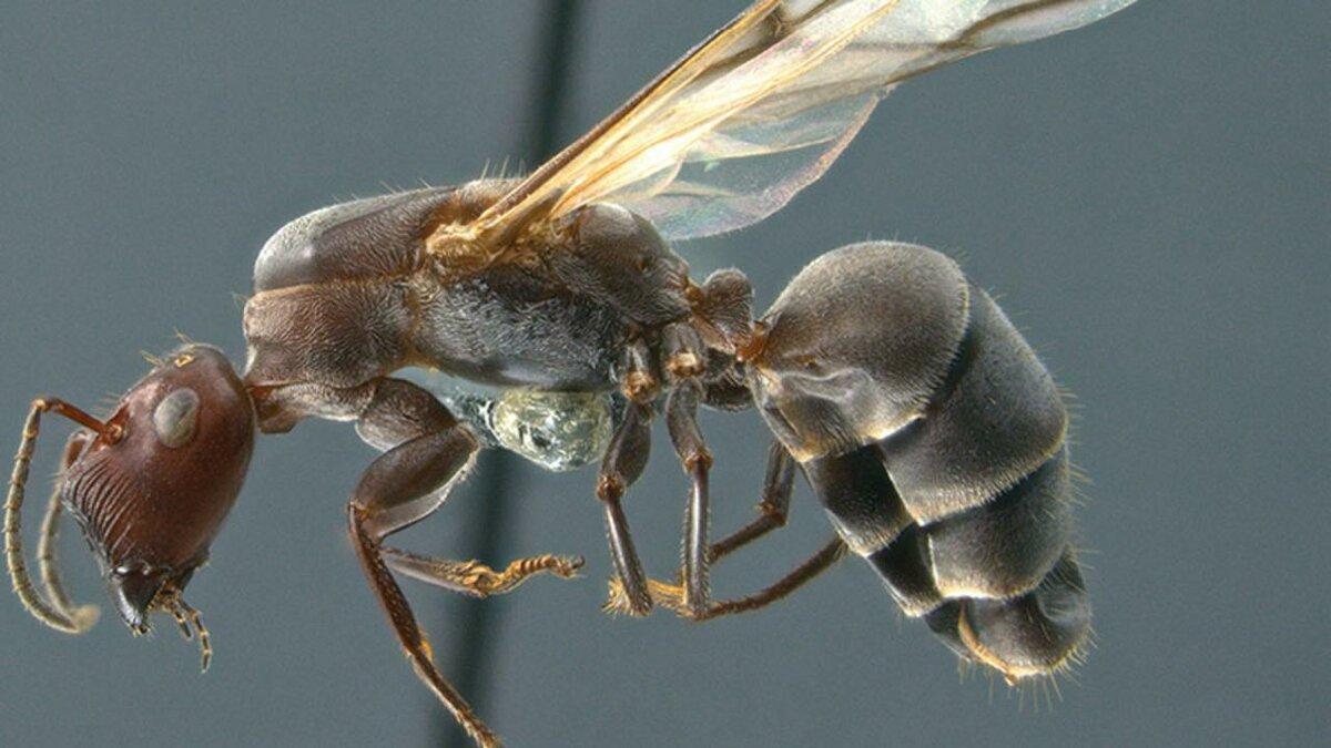 Кто такие летающие крылатые муравьи?