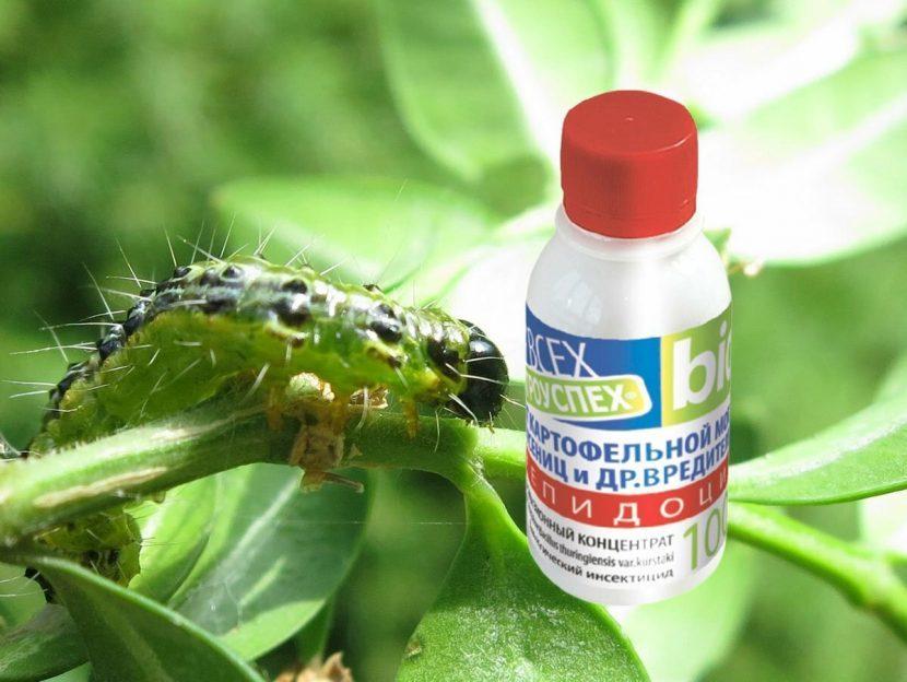 Гусеницы на герани: эффективные способы борьбы