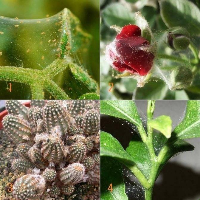 Один из самых распространенных вредителей – паутинный клещ. чем опасен и как спасти рассаду помидоров?