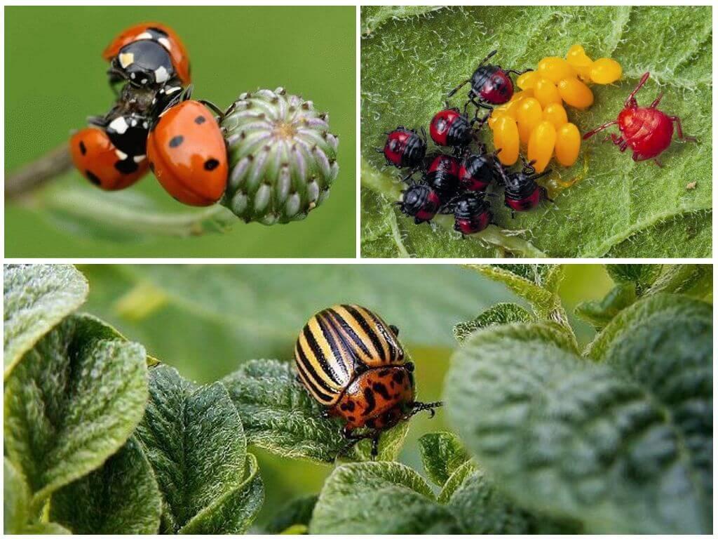 Меры борьбы с колорадским жуком: выбираем и применяет на практике