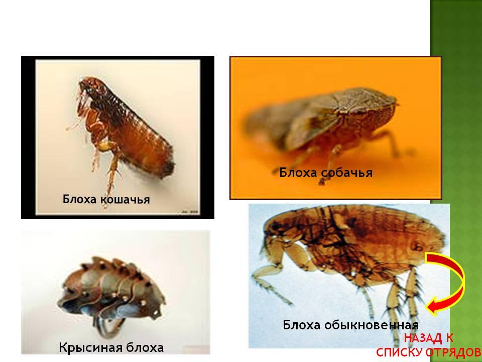 Размножение блох, стадии яиц и личинок