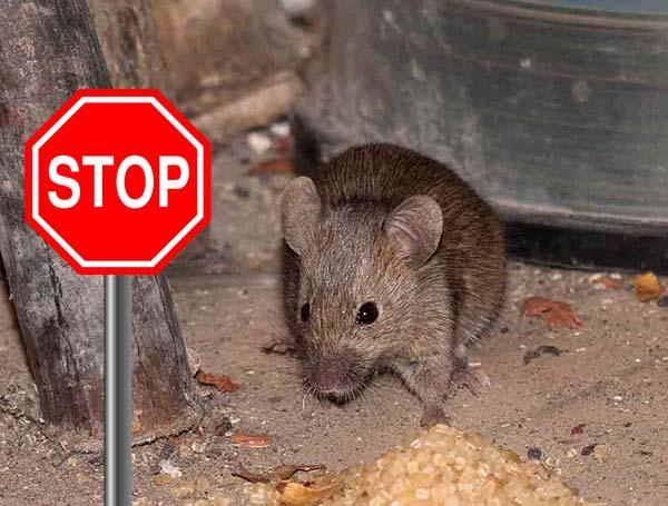 Как избавиться от мышей на даче навсегда: действенные методы