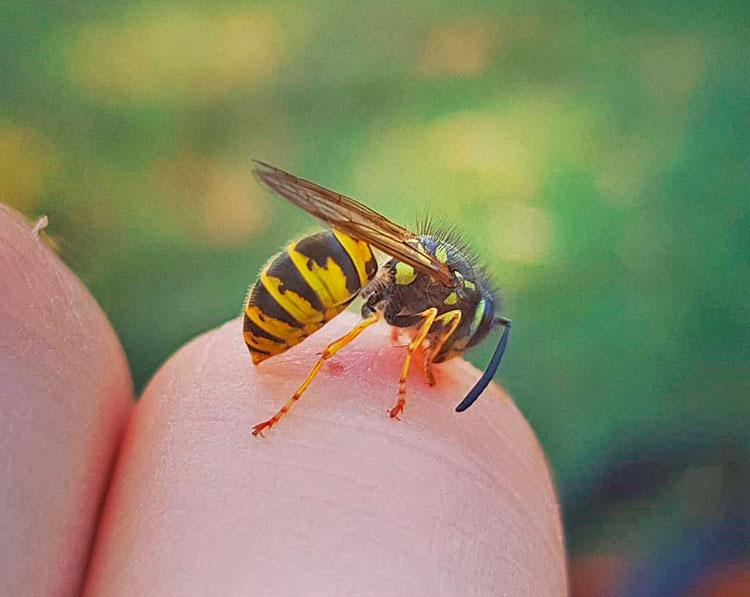 Укус пчелы: почему она умирает, первая помощь при отеке, а также польза и последствия