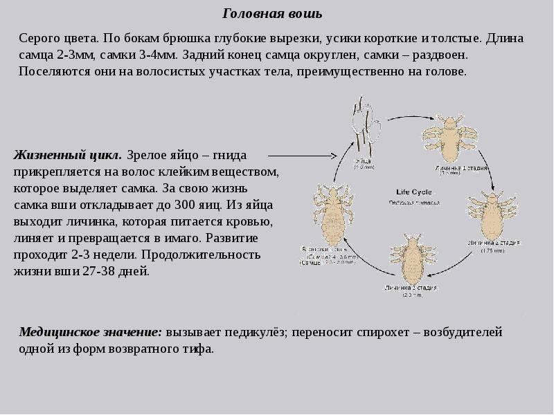 Как быстро размножаются вши, их жизненный цикл