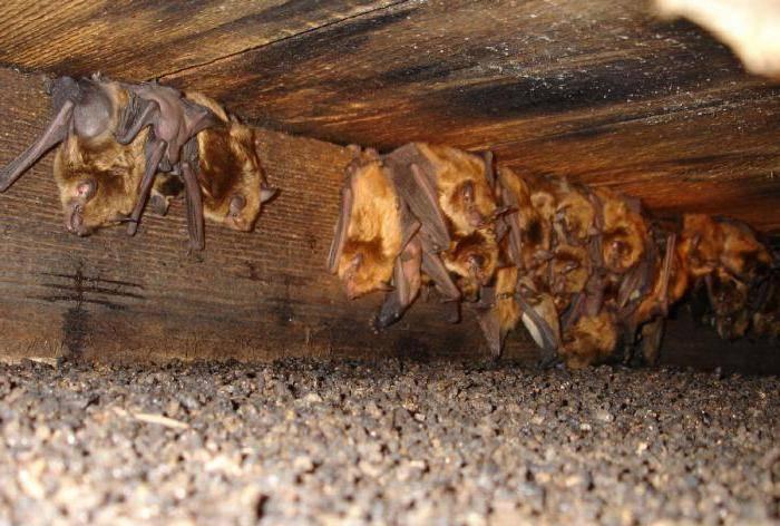 Как избавиться от летучих мышей. способы избавления от летучих мышей
