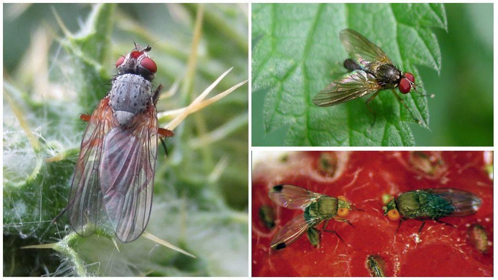 Вишнёвая муха: как бороться с вредителем, профилактика | огородники